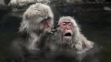 日本猕猴泡露天温泉