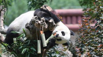 """动物园迎端午大熊猫吃""""粽子"""""""