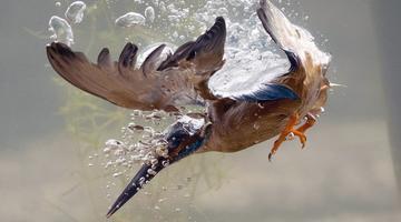 摄影师记录翠鸟水下捕鱼精准瞬间