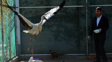 沧州:救助迁徙候鸟