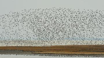 山东青岛候鸟迁徙过境胶州湾
