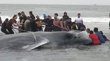 智利民众协力救助搁浅鲸鱼