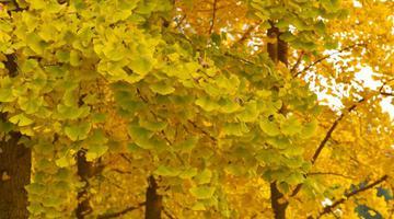 又到银杏叶黄时 满园尽带黄金甲