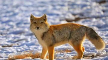 冬日野生动物频现祁连山
