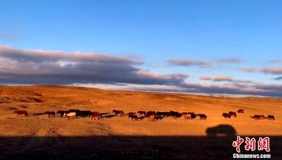 夕阳下的马群。受访者供图。