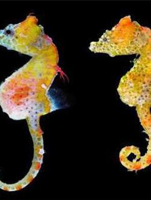 日本海域发现海马新品种