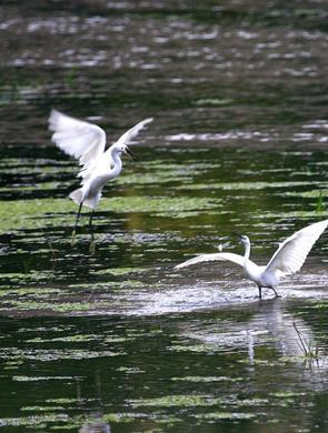 河北一湿地迎来白鹭 翩翩起舞吸引游人