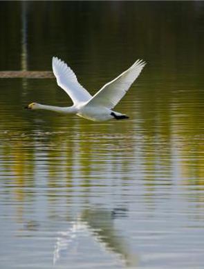 甘肃戈壁小城迎大批候鸟