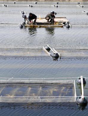 河北樂亭:海參養殖忙