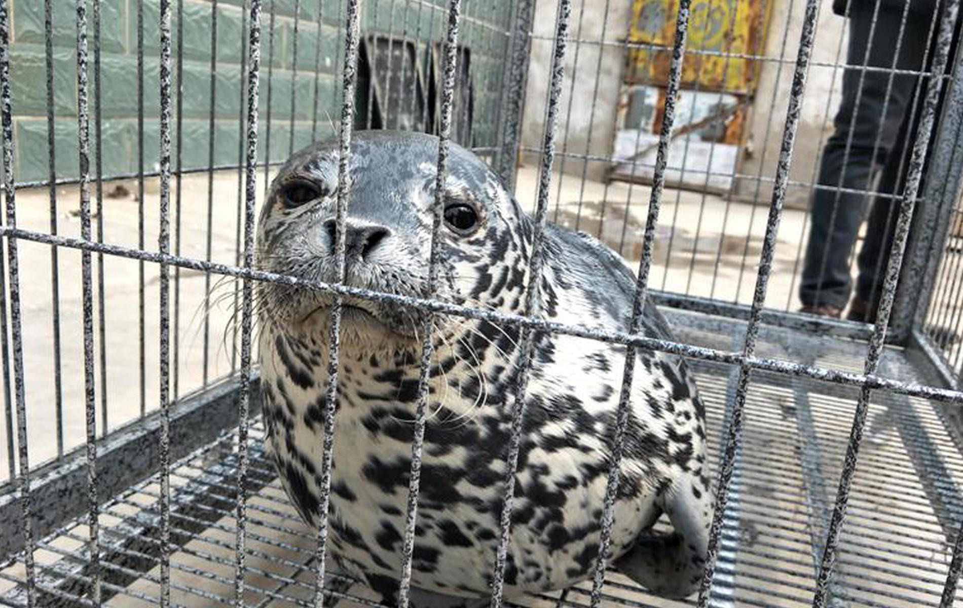 乐亭救助一只斑海豹幼崽