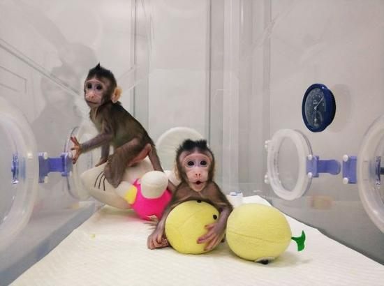 """20日,克隆猴""""中中""""和""""华华""""在位于上海的中科院非人灵长类平台育婴室的恒温箱里。(路透社)"""