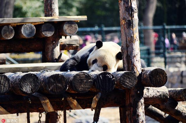 大熊猫萌哒哒的睡姿