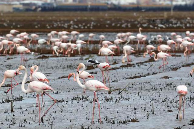 西班牙一自然保护区内大量火烈鸟觅食 场面壮观