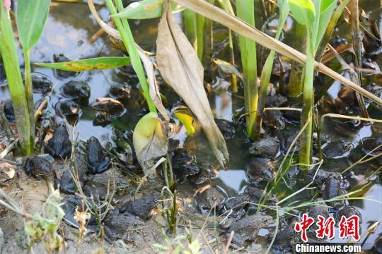 广州花都志惠农场池塘出现大量青蛙 曾令华 摄