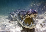 摄影师水下拍鳄鱼特写走红