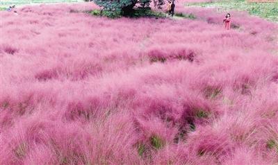 郑州龙湖现粉红色草原 吸引诸多市民观赏