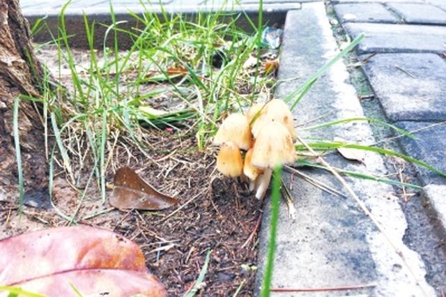 河南连续阴雨天路边长出蘑菇 不要乱吃