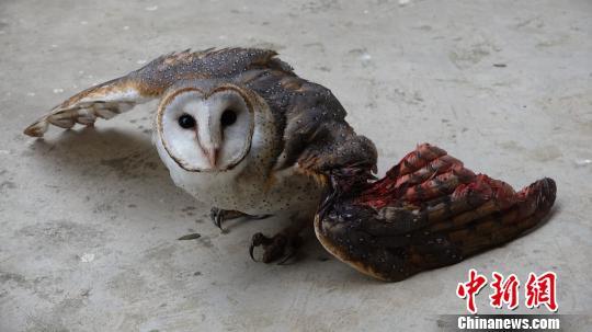 二级保护动物猴面鹰折翼坠落荒野 警民爱心救助