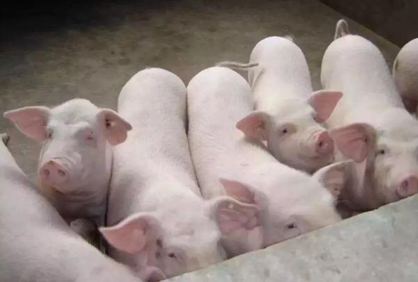 郑州现猪O型口蹄疫疫情 扑杀173头猪