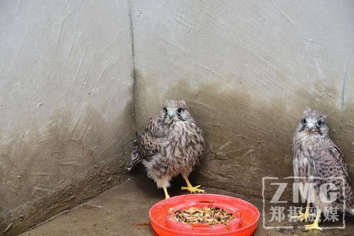 中牟:灯杆上掉下两只鸟 竟是国家二级保护动物
