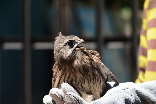 郑州:坠地雏鸟被市民发现 原是二级保护动物红隼