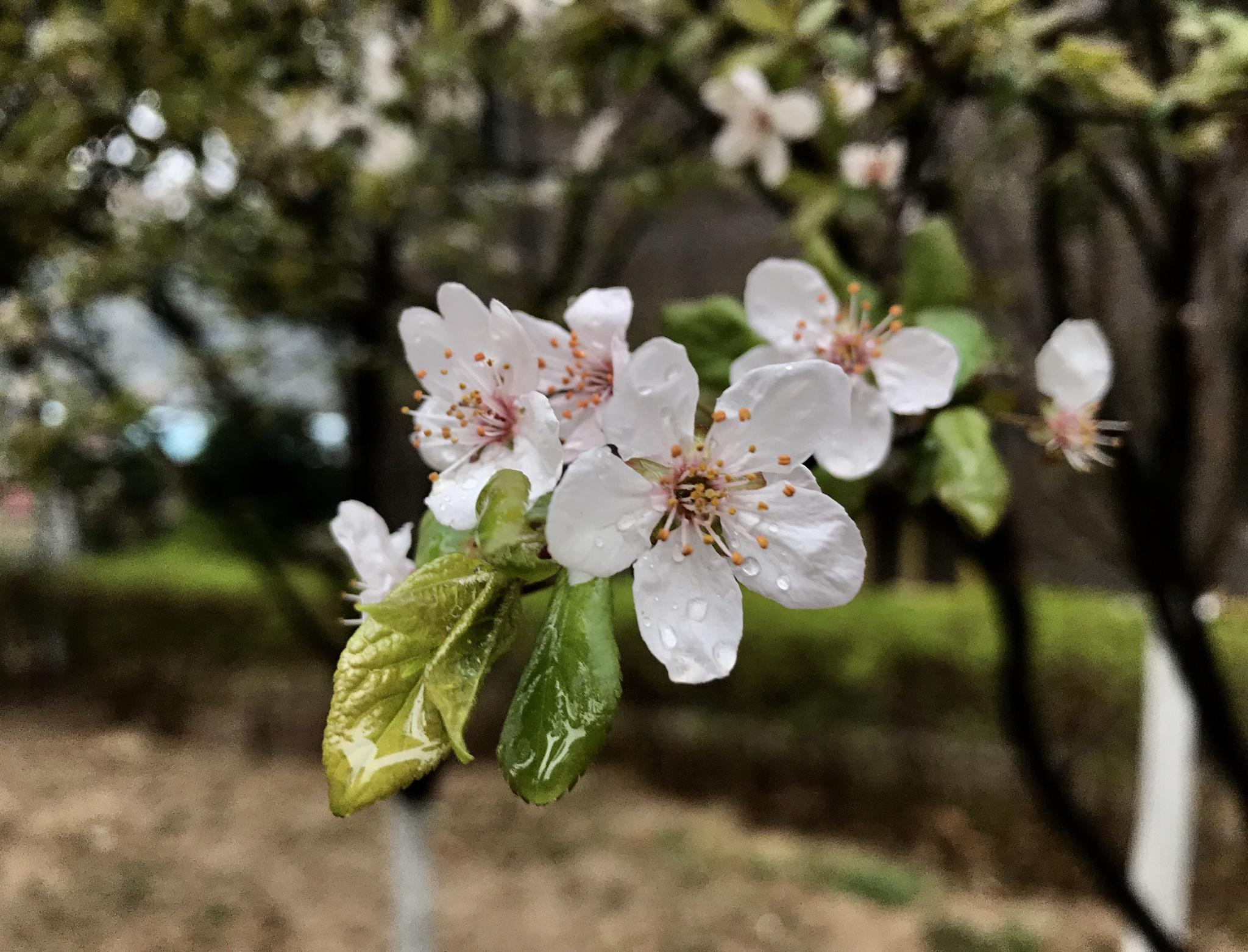 周末无晴雨有情 春雨淅淅沥沥润中原