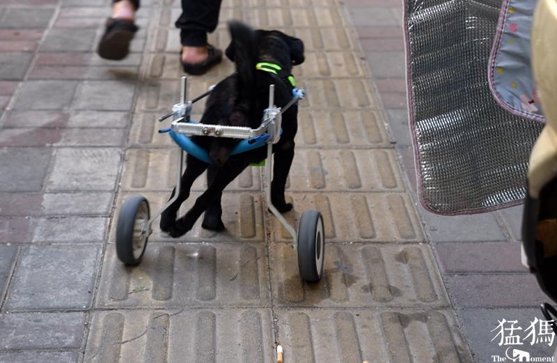 """郑州这条靠""""轮椅""""坚强行走的小狗 期盼好心人收养"""
