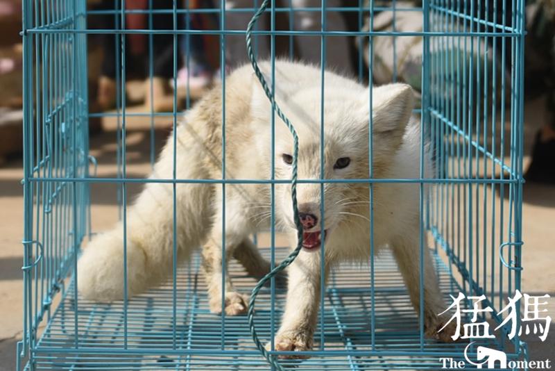 一只北极狐闯入郑州闹市居民区 一度被当做狗狗(图)