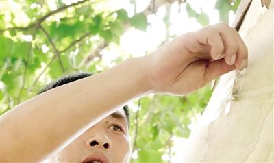 """郑州引进30万头管氏肿腿蜂 已投放到树上""""以虫治虫&quot"""