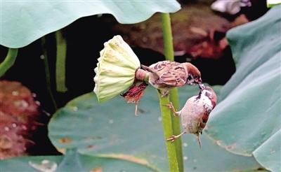 郑州紫荆山公园荷塘温馨一幕:莲蓬杆上麻雀喂食雏鸟