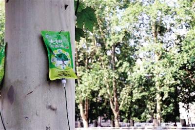 """郑州街头法桐""""挂吊针"""" 绿化部门:输的是营养液"""
