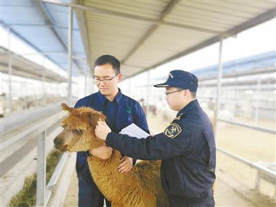郑州海关:681只澳洲羊驼顺利入境