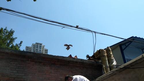郑州:坠落幼鸟见人玩失踪 鸟妈呼唤乖乖从砖缝钻出