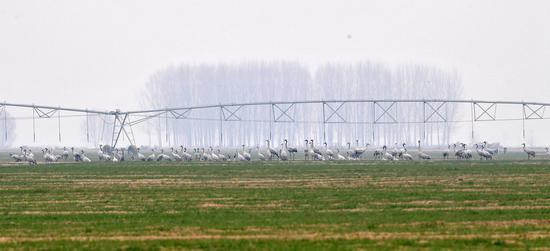 这是12月25日在河南省长垣县境内的黄河湿地拍摄的灰鹤。
