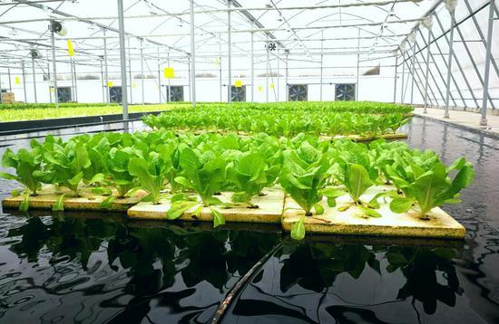 以色列高效农业科技创新示范园项目落地内乡 生菜漂在水上长