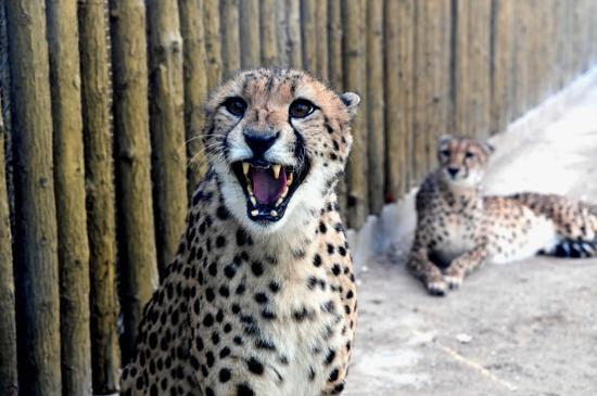 12月18日,猎豹在郑州市动物园猎豹馆内。