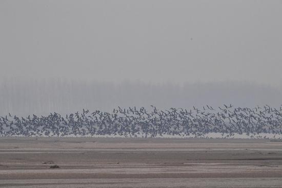 这是12月25日在河南省长垣县境内的黄河湿地拍摄的大雁。