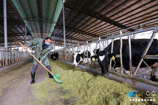 3月3日,饲养员在河南省武陟县北郭乡西余会村一处牧场为奶牛添加饲料。