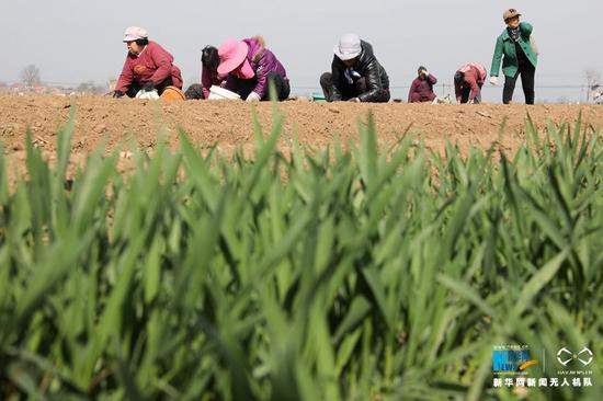 3月11日,河南省温县番田镇北马村农民在田间播种怀地黄。