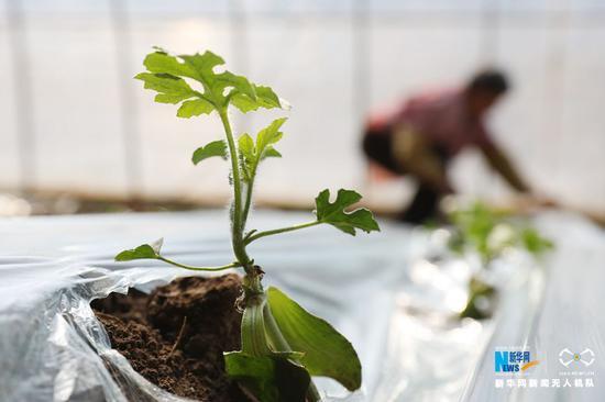 3月11日,河南省温县武德镇亢村农民在温室大棚移栽西瓜苗。
