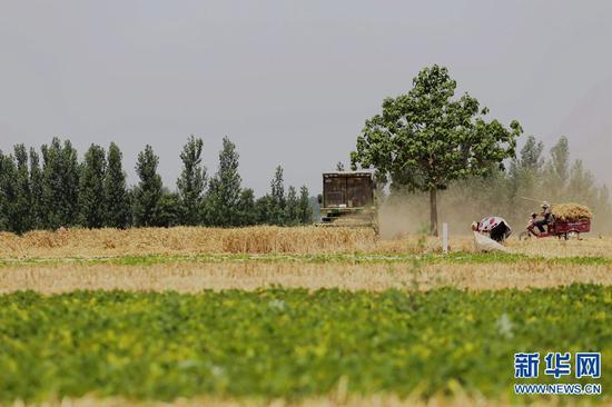 2019年6月11日,河南省民权县野岗镇郑庄村,村民在抢收小麦。