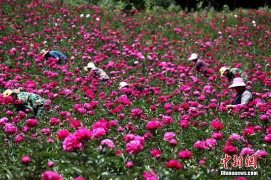 图为洛阳护花群众正在花间劳作。王中举 摄
