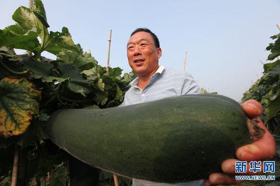 2019年7月11日,河南省郸城县钱店镇,村民万亩冬瓜基地展示即将上市的冬瓜。