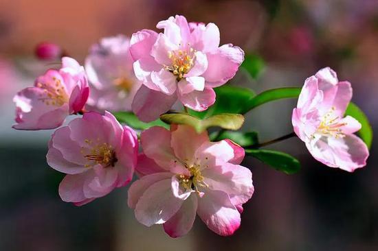 海棠花已开,绿博园等你来!