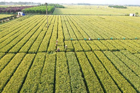 这是5月15日拍摄的河南省焦作市温县祥云镇小麦博物馆附近的育种麦田(无人机照片)。新华社记者 冯大鹏 摄