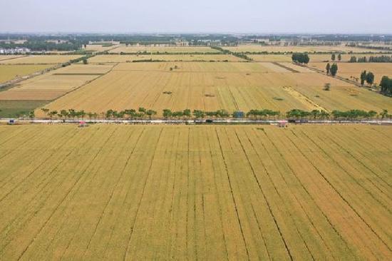 5月19日,在邓州市腰店镇黄营村,连片的小麦长势良好(无人机照片)。新华社记者 冯大鹏 摄