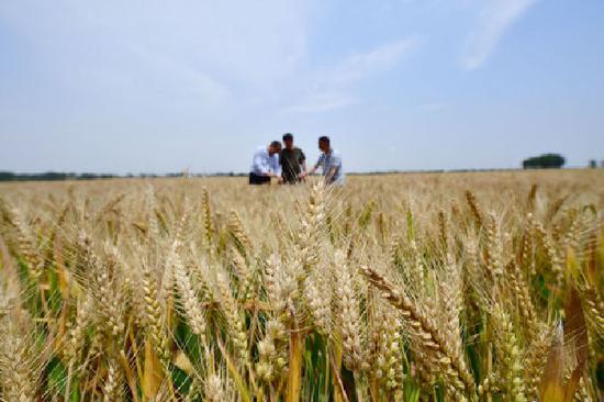 5月19日,在邓州市腰店镇黄营村,邓州市农业技术推广中心专家查看小麦长势,开展预产工作。新华社记者 冯大鹏 摄