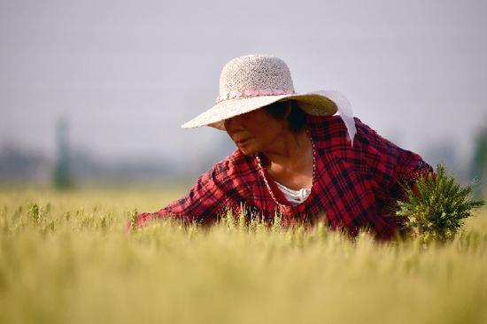 5月15日,在河南省焦作市温县祥云镇小麦博物馆附近的麦田里,农民在劳作。新华社记者 冯大鹏 摄