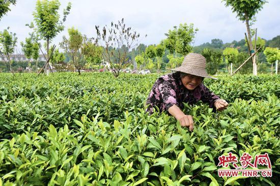 楼畈村的村民在茶田内采茶
