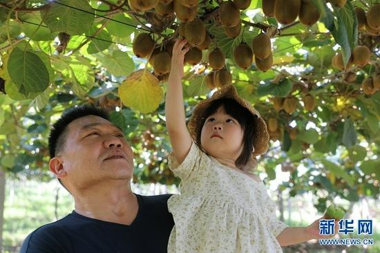 河南灵宝:猕猴桃丰收奏响乡村振兴曲(图)